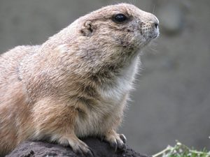 mancos colorado prairie dog