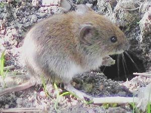 mancos colorado vole removal