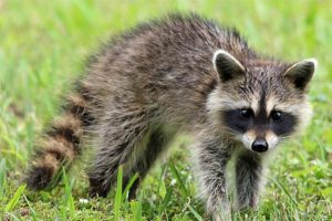raccoon mancos colorado