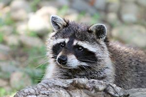 raccoon problem colorado