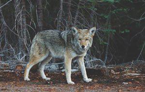 coyote removal colorado