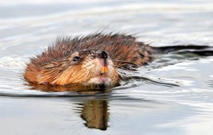 muskrat removal colorado