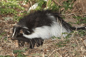 skunk problem mancos colorado