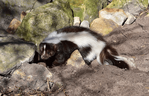 skunk removal southwest colorado