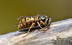 wasp problem durango colorado