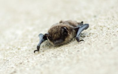 Bats | Why They Are Important & How We Can Coexist
