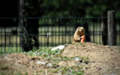 What You Need to Know About Prairie Dogs & the Plague