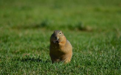 Burrowing Rodents | Activity, Threats, and Treatments